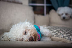 Molly. Is a 12 year old Bichon Frise. Even though she has championship blood and cloud be a winner show dog, her owners giver her in adoption because she has a Royalty Free Stock Images