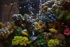 Mollys in a fish tank Stock Photos