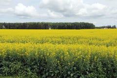 Moln över fält av Manitoba Canola i blomning Royaltyfria Foton