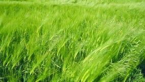 Moln över grönt fält av ungt vete stock video
