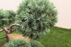 Moln beskurit topiaryträd sörjer den vintergröna miniaturen för bonsai treen close upp arkivbild