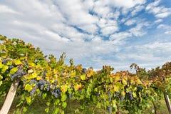 Moln på vingården Arkivfoto