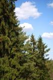 Molnen till och med pinjeskogen Arkivbilder