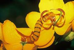 Molnfri jätte- sulphur Caterpillar: Phoebis sennae Arkivbilder