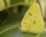 molnfri jätte- sulphur för fjäril arkivfoton