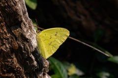 molnfri sulphur för fjäril royaltyfri foto