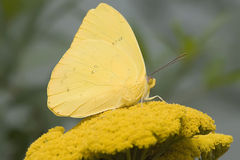 molnfri sulphur för fjäril Royaltyfria Bilder