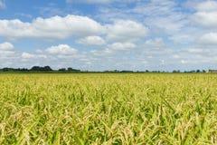 Molnig risfält Arkivfoton