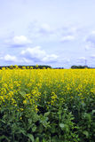 Molniga blåa himlar över fält av Manitoba Canola royaltyfri bild