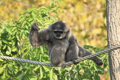 Moloch gibbon. On the rope stock photos