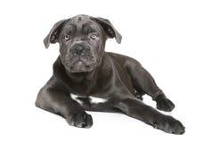 Molosso dog puppy Stock Image