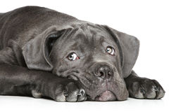 Molosso puppy lying on a white Royalty Free Stock Photos