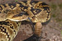 Molossus del Crotalus del New Mexico Fotografie Stock Libere da Diritti