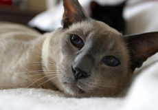 Molson (highly selective focus on eyes). Blue-point Siamese cat stock photography