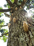 Molt of Cicada Royalty Free Stock Photos