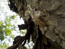 Molt of Cicada Royalty Free Stock Image