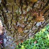 Molt of Cicada on tree bark Royalty Free Stock Photo
