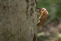 Molt of cicada on tree bark Royalty Free Stock Photography