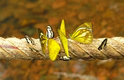 Molta farfalla nera/bianca e gialla sulla corda lunga Immagine Stock
