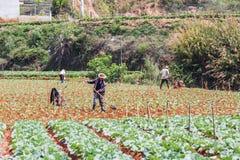 Molta gente sta lavorando al campo delle verdure Fotografia Stock
