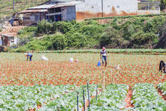Molta gente sta lavorando al campo delle verdure Immagini Stock Libere da Diritti