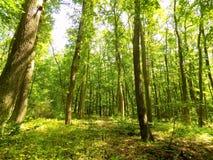 Molte alte latifoglie in foresta decidua Fotografia Stock Libera da Diritti