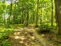 Molte alte latifoglie in foresta decidua Immagine Stock Libera da Diritti
