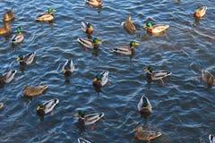 Molte anatre che nuotano nell'acqua di fiume Fotografia Stock Libera da Diritti