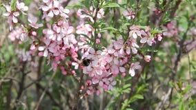 Molte api, bombo ed altri insetti colecting nettare dai fiori rosa luminosi il giorno soleggiato Team il lavoro video d archivio