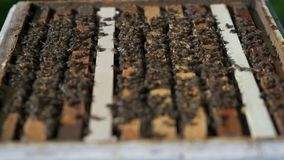 Molte api che lavorano ai favi con il movimento lento del miele video d archivio