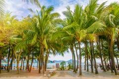Molte belle alte palme si sviluppano vicino, palme di aleya, isola tropicale ed i bei alberi diventano il cielo l'asia Immagine Stock