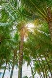 Molte belle alte palme si sviluppano vicino, palme di aleya, isola tropicale ed i bei alberi diventano il cielo l'asia Immagini Stock