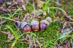 Molte belle ghiande si trovano sulla terra sotto la quercia Fotografia Stock