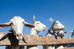 Molte capre stanno sorridendo immagine stock