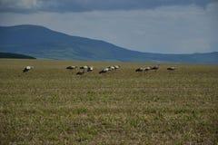 Molte cicogne caricano il campo vicino alla foresta Fotografia Stock