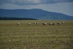 Molte cicogne caricano il campo vicino alla foresta Fotografia Stock Libera da Diritti