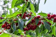 Molte ciliege mature rosse Immagini Stock Libere da Diritti