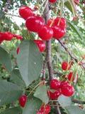Molte ciliege rosse mature su un grande albero fotografia stock