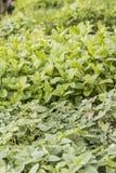 Molte erbe nelle grandi file in una serra Immagine Stock