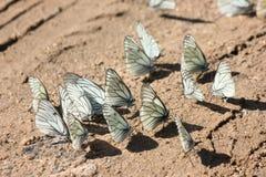 Molte farfalle bianche sulla sabbia marrone immagine stock libera da diritti