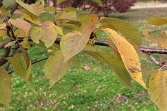 Molte foglie di giallo Immagine Stock