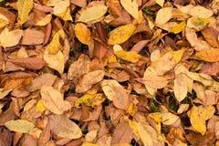 Molte foglie ingiallite sulla terra Fondo della prateria caduta fotografia stock