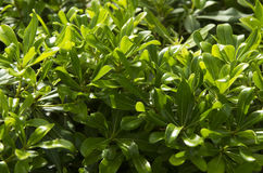 Molte foglie verdi Fotografie Stock