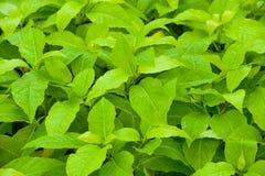 Molte foglie verdi bagnate Fotografia Stock