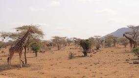 Molte giraffe nella riserva di Samburu si nascondono vicino agli alberi ed ai cespugli nel periodo di siccità video d archivio