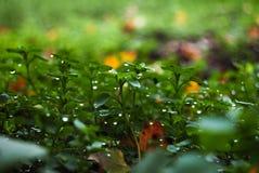 Molte gocce sotto le foglie verdi Fotografie Stock