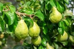 Molte grandi pere succose saporite mature che crescono sull'albero in frutteto Sfondo naturale della bio- frutta organica sana Co fotografia stock