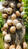 Molte lumache gattering su un palo di legno Fotografia Stock
