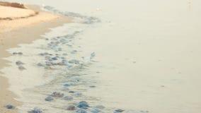 Molte meduse morte e vive sulla spiaggia sabbiosa stock footage