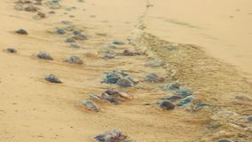 Molte meduse morte sulla costa sabbiosa video d archivio